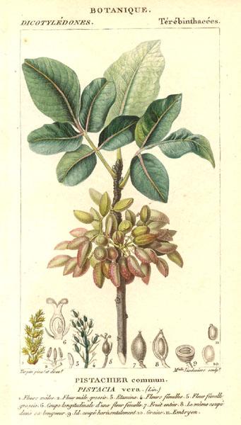 21735.Anacardiaceae - Pistacia vera